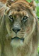 Lion Print Prints - Lioness Female Lion 2 Print by Chris Thaxter