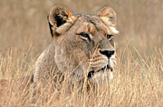 Bev  Brown - Lioness in Long Grass