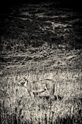 Travel - Tanzania - Lioness Looks Around BW by Darcy Michaelchuk