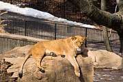 Leia Burt - Lioness Lounge