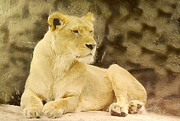 Growling Painting Prints - Lioness lying Print by Odon Czintos