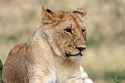 Wildlife Photography Prints - Lioness - Masai Mara - Kenya Print by Aidan Moran