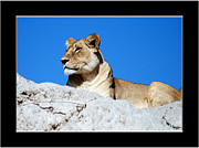 Frank Gaffney - Lioness on Sentry Duty