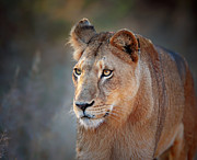 Lioness Portrait Front View Print by Johan Swanepoel