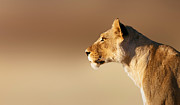 Lioness Portrait Print by Johan Swanepoel