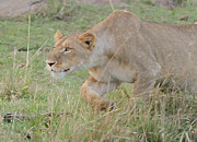 All - Lioness Stalking Accented by Tom Wurl
