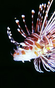 Lionfish 3 Print by Dawn Eshelman