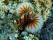 Lionfish At Ha'atafu Print by Crystal Beckmann