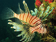 Brian Sevald - Lionfish off the coast...