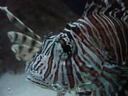Robert Bartlett - Lionfish
