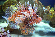 Lionfish Print by Sandi OReilly