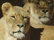Wild Cats Photos - Lions by Ernie Echols