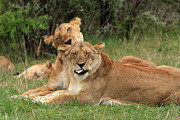 Cat Portraits Prints - Lions Of The Masai Mara  Print by Aidan Moran