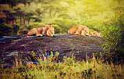 King Art - Lions on rocks on savanna at sunset. Safari in Serengeti. Tanzania. Africa by Michal Bednarek