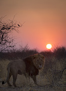 Bigcat Framed Prints - Lions sundown Framed Print by Andy-Kim Moeller