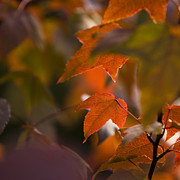 Backlit Photo Prints - Liquidambar Autumn Print by Anne Gilbert