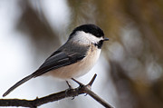 Chickadee Art - Little Beauty by Bianca Nadeau