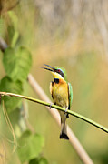 Twig Eater Prints - Little Bee-eater Print by Andy-Kim Moeller