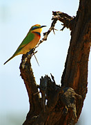 Jay Fries - Little Bee Eater