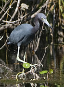 Ama Arnesen - Little Blue Heron
