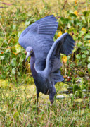 Marsh Bird Prints - Little Blue Heron Blue Print by Carol Groenen