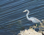 Anna Villarreal Garbis Acrylic Prints - Little Blue Heron II Acrylic Print by Anna Villarreal Garbis