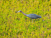 Louise Heusinkveld - Little Blue Heron