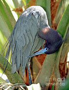 Little Blue Heron Male Preening Print by Millard H. Sharp