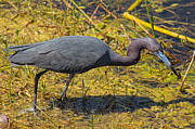 Natural Focal Point Photography - Little Blue Heron