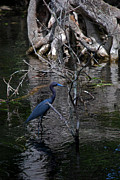 Kinds Of Birds Posters - Little Blue Heron Poster by Skip Willits