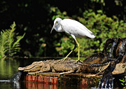 White Morph Prints - Little Blue Heron White Morph In An Alligator Fountain Print by Kathy Baccari