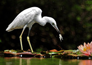 White Morph Prints - Little Blue Heron - White Morph Print by Kathy Baccari