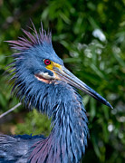 Heron Photos - Little Blue Herons Crest by Andres Leon