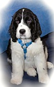 Puppy Digital Art Metal Prints - Little Boy Blue oil Metal Print by Steve Harrington