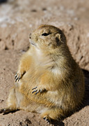 Prairie Dog Metal Prints - Little Buddha Metal Print by Saija  Lehtonen