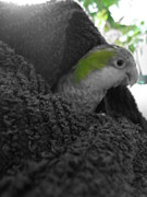 Quaker Parrot Photos - Little Bundle of Love by Emma Colon