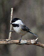 John Crothers - Little Chickadee 2