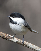 John Crothers - Little Chickadee 3