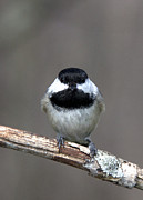 John Crothers - Little Chickadee 5