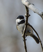 Debbie Green - Little Chickadee