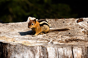 Bushy Tail Photos - Little Chipmunk by Robert Bales