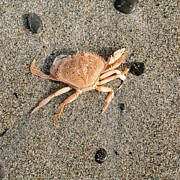 Nature Study Photo Prints - Little Crab Print by Bob and Jan Shriner