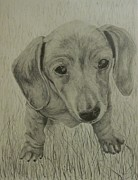 Paintings Available As Prints - Little Dachshund by Phillip Compton