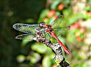 Morag Bates Prints - Little Dragonfly Print by Morag Bates