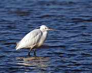 Paul Scoullar - Little Egret