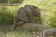 Elephant Photo Posters - Little Elephant Big Log Poster by Michele Burgess