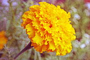Kkphoto1 Posters - Little Golden  Marigold Poster by Kay Novy