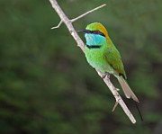 Twig Eater Prints - Little Green Bee-eater  Merops orientalis Print by Liz Leyden