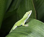 Marilyn Hunt - Little Green Lizard