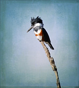 Kingfisher Photo Acrylic Prints - Little Guy Acrylic Print by Fraida Gutovich